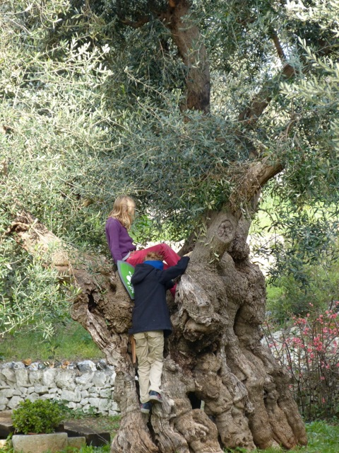 Playing in an olive tree that is over 1000 years old.