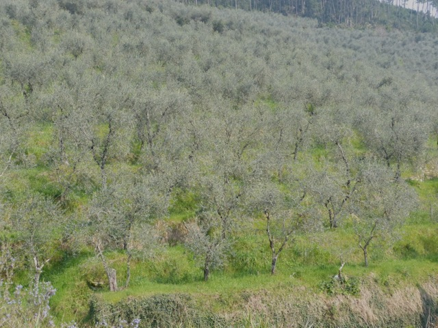 Olive groves north of Lucca